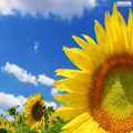 photo3et gallery sunflower