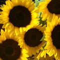 بزرگترین گالری عکس گل آفتاب گردان