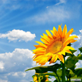 عکس مزرعه گل آفتاب گردان